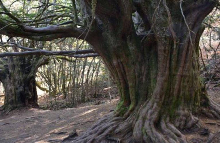 An ancient yew forest in Zamora that is worth visiting