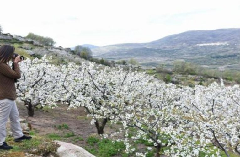 Two routes by car to see the cherry blossoms in the Jerte valley